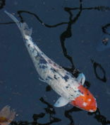 Matlock bath aquarium fish sales and rescue for Koi fry pool