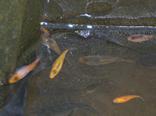 Matlock bath aquarium koi breeding programme for Koi kiddie pool